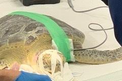 Manicotti Sea Turtle Eye Surgery